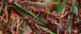 Locusts Tiddi Dil