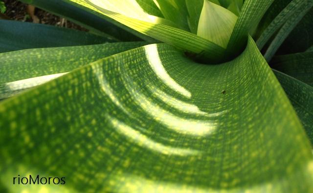 Hoja de VRIESIA GIGANTE Vriesea gigantea