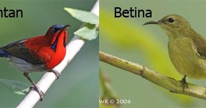 Jenis Burung Kolibri Ninja (Ulasan, Harga, Cara Merawat)