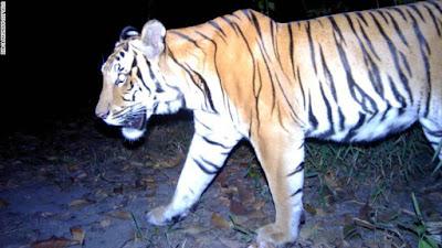 Hổ tự nhiên chụp bằng bẫy ảnh
