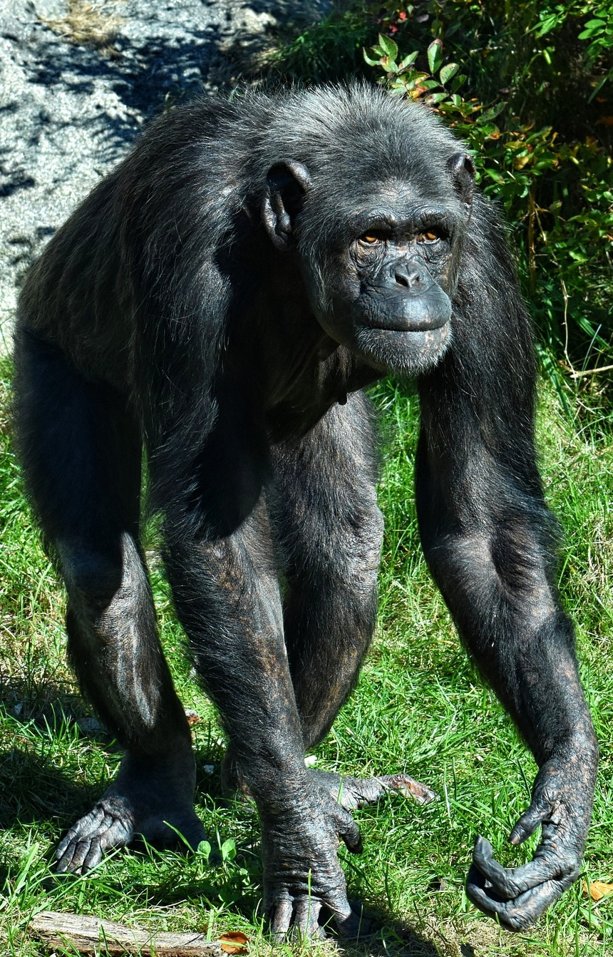 Picture of a chimpanzee.