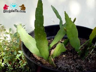 Cara menanam tanaman hias bunga Wijayakusuma