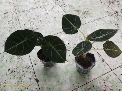 Black Velvet Alocasia when I first bought them