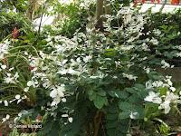 Snowbush, a jungle plant (in spite of its name) - Kyoto Botanical Gardens Conservatory, Japan