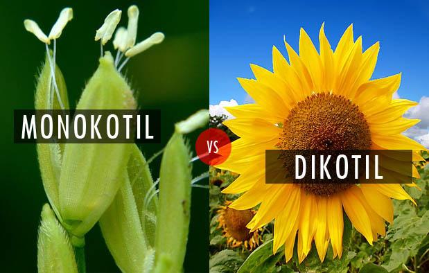 Perbedaan Bunga Monokotil dan Dikotil