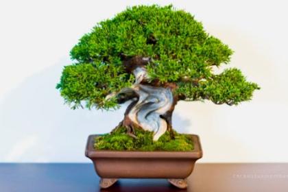 34 Inspirasi Bonsai Kayu Mati Terbaik (Deadwood / Sharimiki)