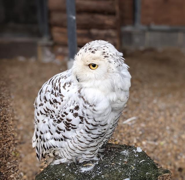 Kirkleatham Owl Centre Review  - snowy owl