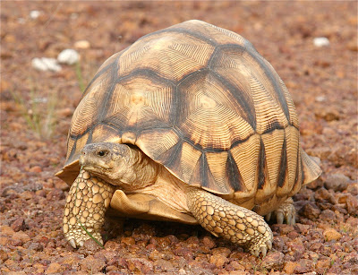 endangered Madagascar tortoise