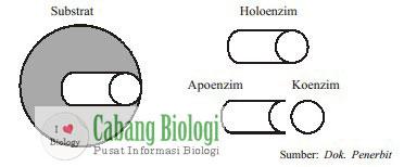 Holoenzim, apoenzim, koenzim, dan substrat