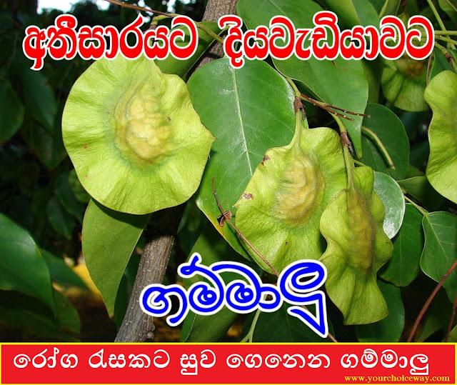 රෝග රැසකට සුව ගෙනෙන ගම්මාලු (Gammalu [Pterocarpus Marsupium]) - Your Choice Way