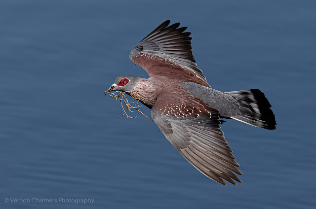 Speckled pigeon Woodbridge Island Vernon Chalmers Photography