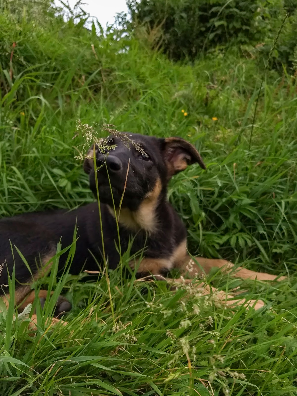 A German Shepherd puppy lying in long grass sniffing grass seeds.