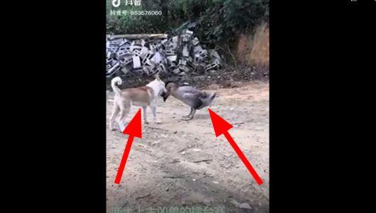 معركة بين  الكلب والبطة مبروك الفوز duckvsdog
