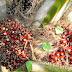 Klon Sawit Baharu CPS3 Inovasi Industri Sawit Negara