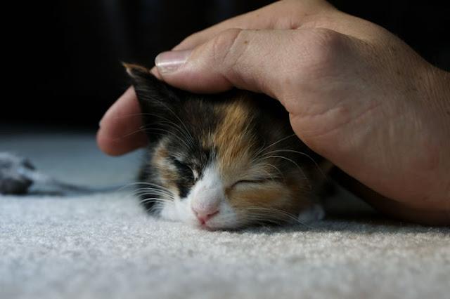 القطط تكره اللعب بعدوانية