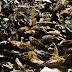 Απαγόρευση κατανάλωσης οστρακοειδών από το Μάζωμα λόγων ανίχνευσης βιοτοξίνης