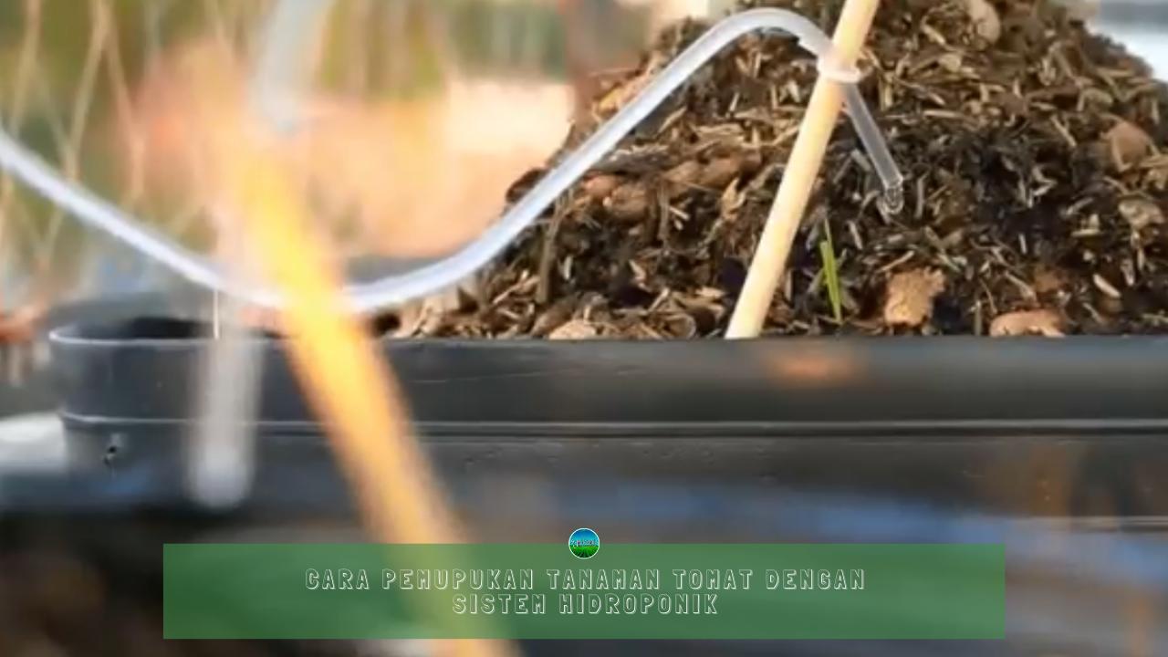 Cara Pemupukan Tanaman Tomat Dengan Sistem Hidroponik