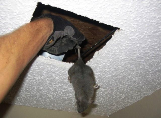 Renungan Bangkai Tikus