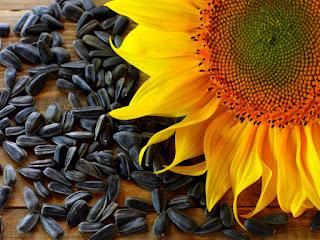 menanam-kuaci-bunga-matahari.jpg