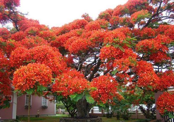 أشجار البونسيانا في البرازيل