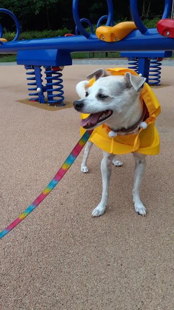 dog walking in the rain