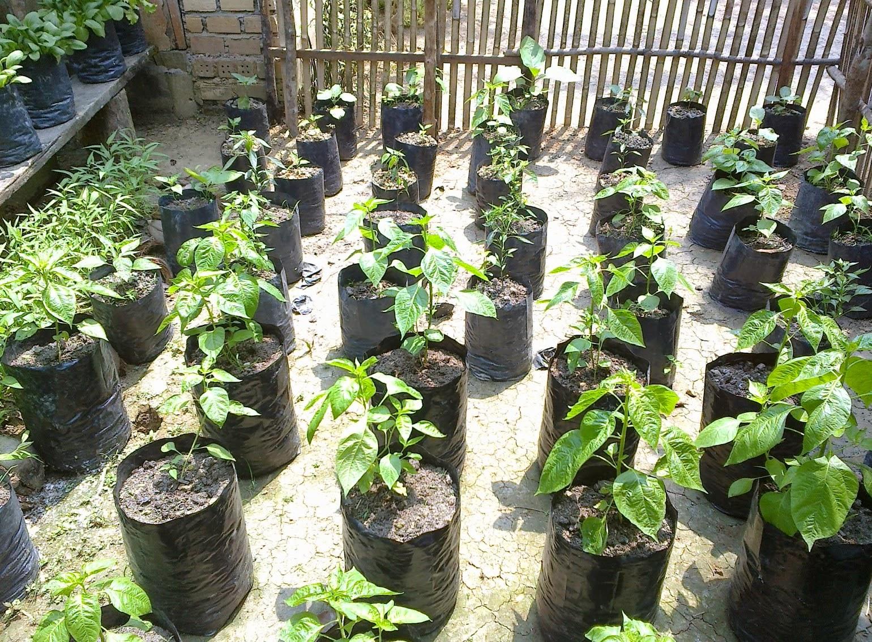 Cara Berkebun Dan Menanam Cabe Rawit Merah Di Pot Batam