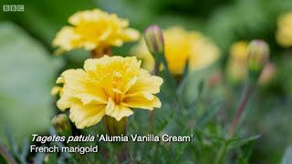 Marigolds 'Alumia Vanilla Cream
