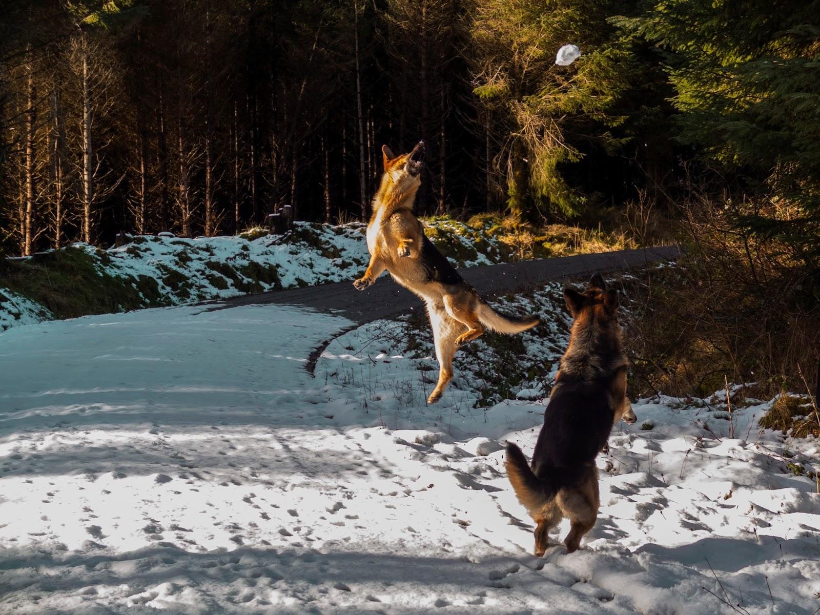 German Shepherd dog jumping to catch a snowball.