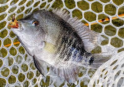 Year of the Rio, Rio Grande Cichlid, Texas Cichlid, Rio Grande Cichlid on the fly, Fly Fishing for Rio Grande Cichlid, Fly Fishing Texas, Texas Fly Fishing, YOTRio2021,