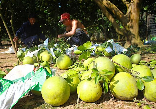 Tan Trieu Pomelo Village 4