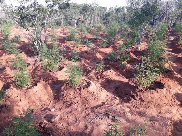 Em Mata Grande, polícia apreende mais de  dois  mil quilos de maconha  em plantação