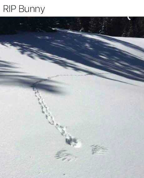 Photo of rabbit trail in the snow suddenly stopping, followed by a pair of wings in the snow