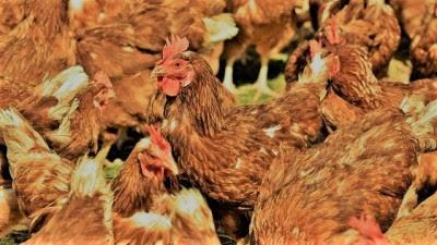 Usaha Ternak Ayam Pedaging