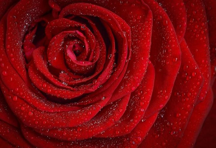 Gambar bunga mawar merah yang paling indah