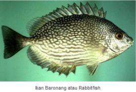 Ikan Laut Konsumsi - Ikan Baronang (Rabbitfish)