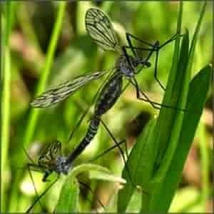 комары-долгоножки семейства Tipulidae