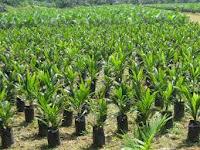 Panduan Cara Pembibitan Kelapa Sawit Yang Baik Dan Benar