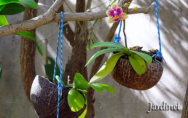 Mini orquídea phalaenopsis na casca do coco