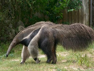 gambar anteater raksasa