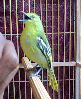 Download Suara Burung Sirtu Auto Gacor Mp3 Gratis