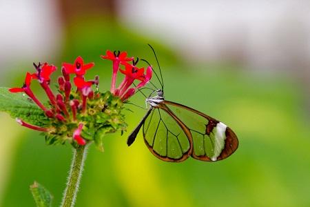 The (Greta oto) Glasswing butterfly