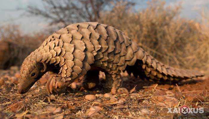Binatang pemakan semut - Trenggiling Bersisik (Pangolin)