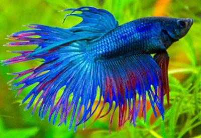 6000 Koleksi Gambar Ikan Cupang Putih Gratis Terbaik