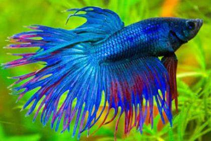 Jenis dan Nama Nama Ikan Cupang yang Paling Populer