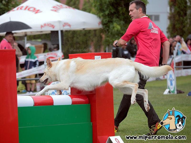 Primer Can de Palleiro en participar oficialmente en competiciones de Agility