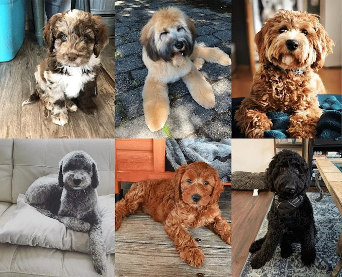 Labradoodle Colors - A Complete Guide About Coat & Colors