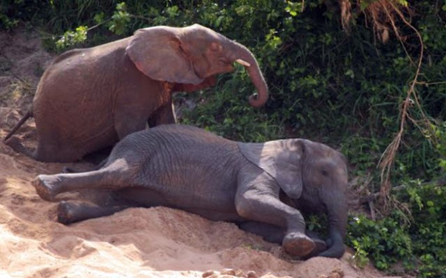 Η μεγάλη ξηρασία που πλήττει στη Ζιμπάμπουε σκοτώνει τους ελέφαντες