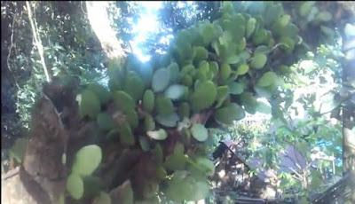 Khasiat daun sisik naga bagi kesehatan