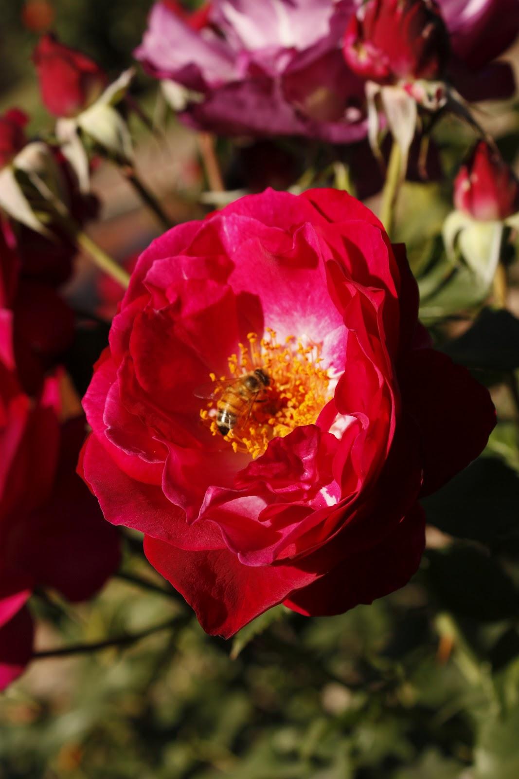 DC Scorpio Blog: Portland OR Rose Garden