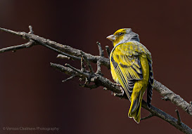 Cape Canary Canon EOS R6 / RF 800mm f/11 IS STM Lens : ISO 640 / 1/2500s